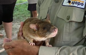 APOPO-Works-with-African-Giant-Pouched-Rats-to-Detect-Landmines-throughout-Africa-and-Cambodia-main-image