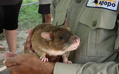 APOPO Works with African Giant Pouched Rats to Detect Landmines throughout Africa and Cambodia