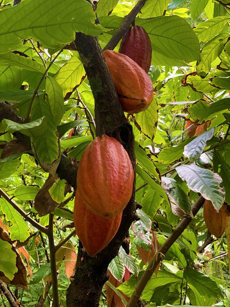 lydgate-farms-chocolate-tour-kauai-hawaii-malories-adventures 5
