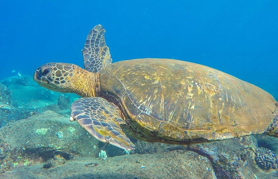 scubscuba-diving-kauai-best-scuba-kauai-malories-adventures-malorie-mackey-sea-turtle-main-image-sma-diving-kauai-best-scuba-kauai-malories-adventures-malorie-mackey-sea-turtle-main-image-sm